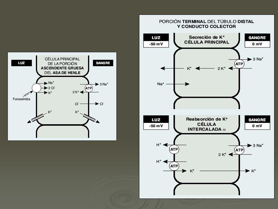 Modelo celular de la secreción de potasio Aldosterona: aumenta los canales abiertos de sodio y potasio, incrementa la actividad de la bomba Aldosterona: aumenta los canales abiertos de sodio y potasio, incrementa la actividad de la bomba Aumenta la concentración de K intracelular Aumenta la concentración de K intracelular La reabsorción de sodio deja el lumen negativo, aumenta el gradiente eléctrico favorable a la secreción de potasio.