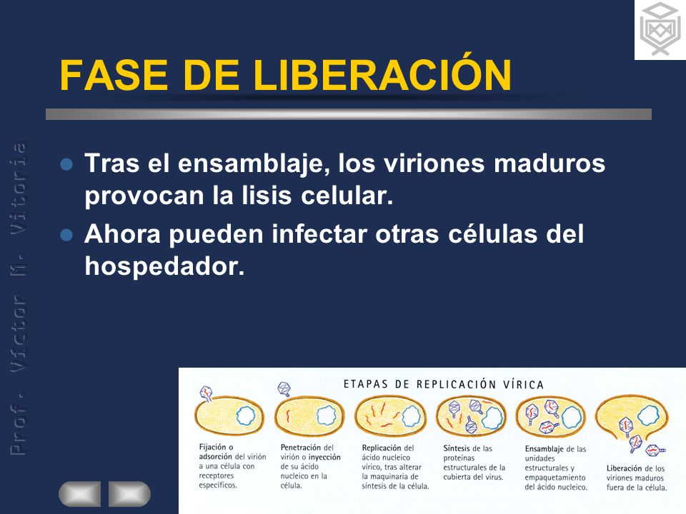 FASE DE LIBERACIÓN Tras el ensamblaje, los viriones maduros provocan la lisis celular. Ahora pueden infectar otras células del hospedador.