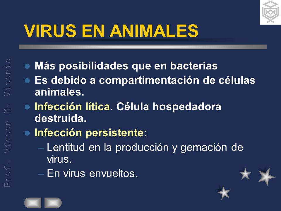 VIRUS EN ANIMALES Más posibilidades que en bacterias Es debido a compartimentación de células animales. Infección lítica. Célula hospedadora destruida