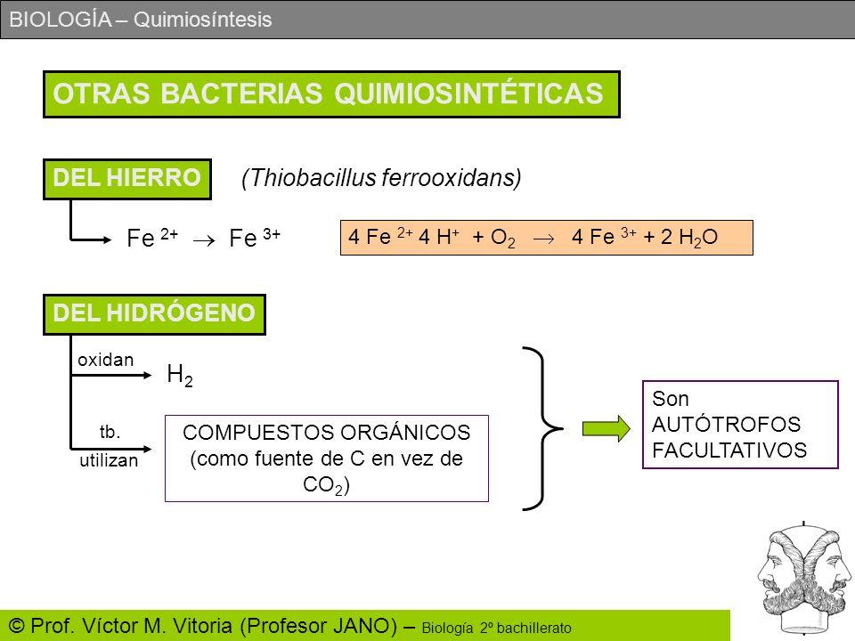 BIOLOGÍA – Quimiosíntesis © Prof. Víctor M. Vitoria (Profesor JANO) – Biología 2º bachillerato OTRAS BACTERIAS QUIMIOSINTÉTICAS DEL HIERRO (Thiobacill