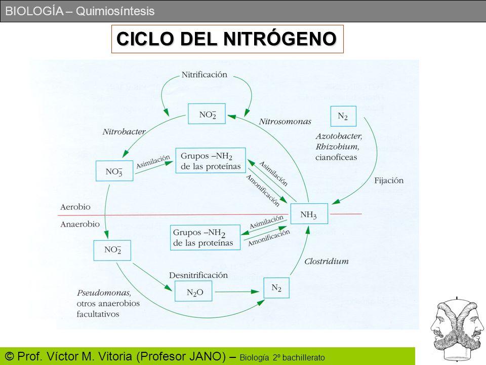 BIOLOGÍA – Quimiosíntesis © Prof. Víctor M. Vitoria (Profesor JANO) – Biología 2º bachillerato CICLO DEL NITRÓGENO