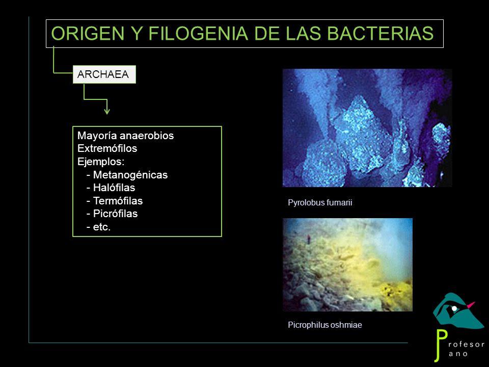 ORIGEN Y FILOGENIA DE LAS BACTERIAS ARCHAEA Mayoría anaerobios Extremófilos Ejemplos: - Metanogénicas - Halófilas - Termófilas - Picrófilas - etc. Pyr