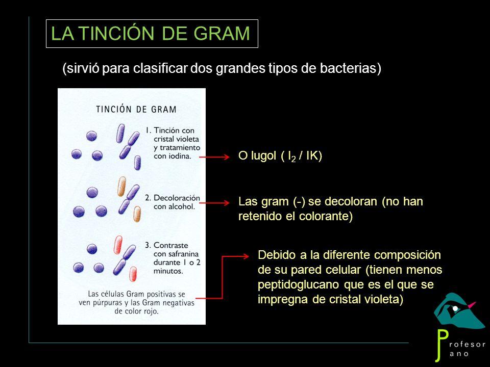 LA TINCIÓN DE GRAM (sirvió para clasificar dos grandes tipos de bacterias) Debido a la diferente composición de su pared celular (tienen menos peptido
