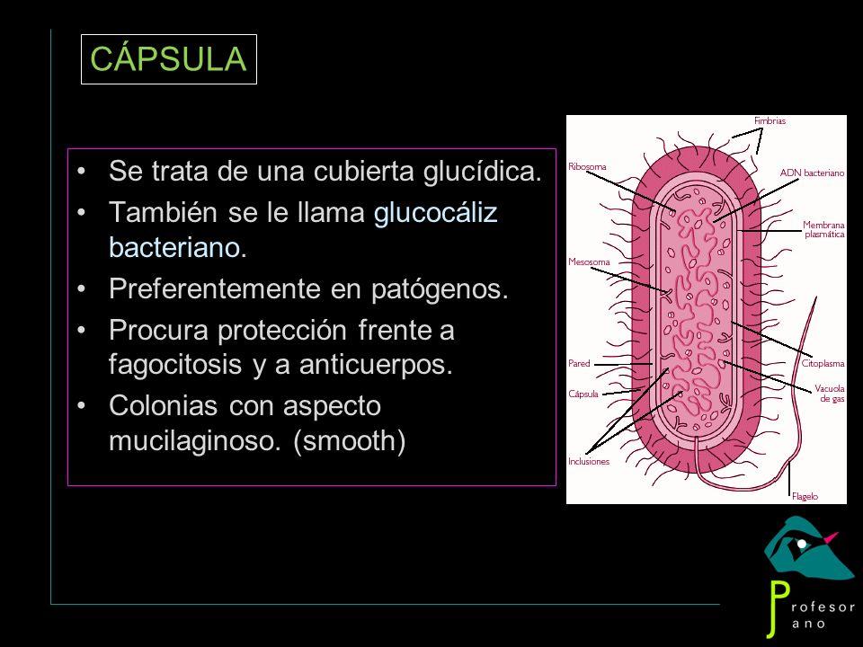 CÁPSULA Se trata de una cubierta glucídica. También se le llama glucocáliz bacteriano. Preferentemente en patógenos. Procura protección frente a fagoc