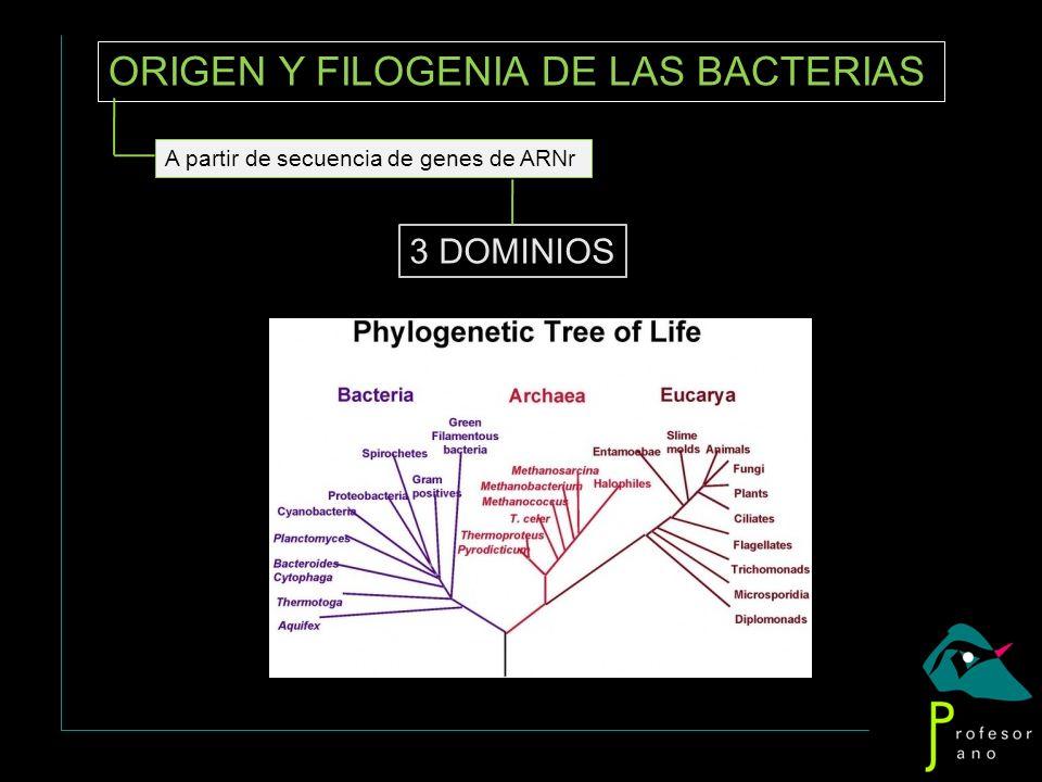 ORIGEN Y FILOGENIA DE LAS BACTERIAS 3 DOMINIOS A partir de secuencia de genes de ARNr