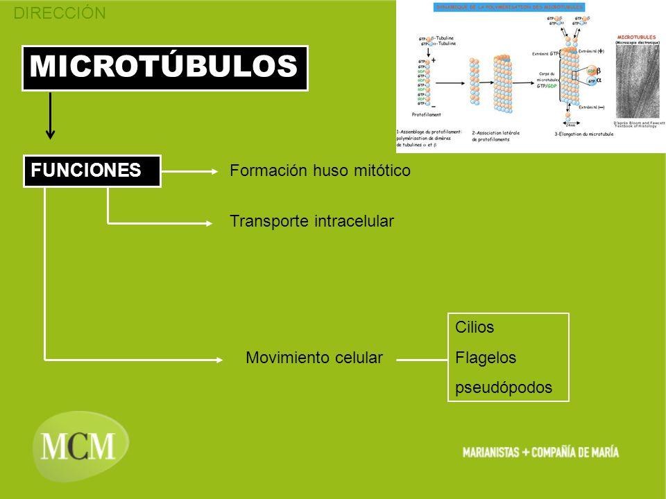 MICROTÚBULOS FUNCIONES Formación huso mitótico Transporte intracelular Movimiento celular Cilios Flagelos pseudópodos