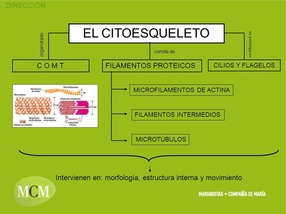 DIRECCIÓN EL CITOESQUELETO FILAMENTOS PROTEICOS CILIOS Y FLAGELOS C O M T organizado consta de se prolonga en MICROFILAMENTOS DE ACTINA FILAMENTOS INT