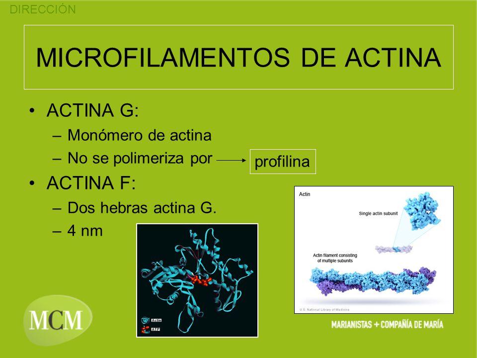 DIRECCIÓN MICROFILAMENTOS DE ACTINA ACTINA G: –Monómero de actina –No se polimeriza por ACTINA F: –Dos hebras actina G. –4 nm profilina