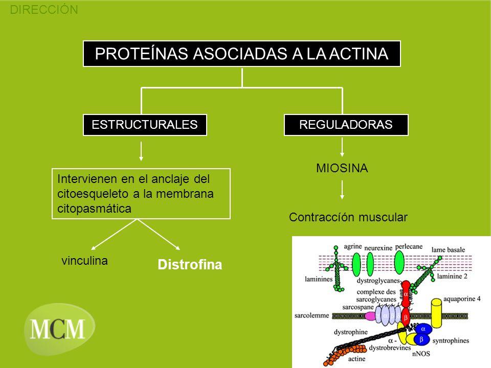 DIRECCIÓN PROTEÍNAS ASOCIADAS A LA ACTINA ESTRUCTURALESREGULADORAS MIOSINA Contraccíón muscular Intervienen en el anclaje del citoesqueleto a la membr