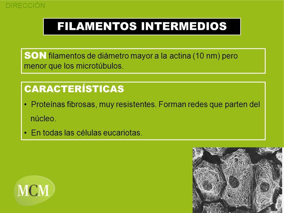 FILAMENTOS INTERMEDIOS SON filamentos de diámetro mayor a la actina (10 nm) pero menor que los microtúbulos. CARACTERÍSTICAS Proteínas fibrosas, muy r