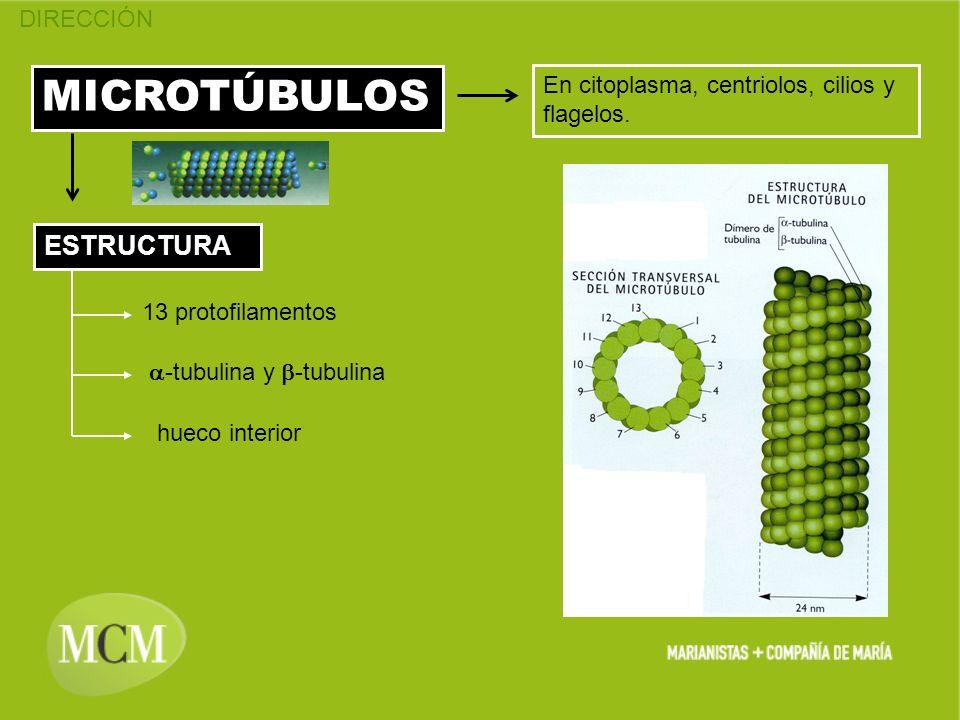 DIRECCIÓN MICROTÚBULOS En citoplasma, centriolos, cilios y flagelos. ESTRUCTURA 13 protofilamentos hueco interior -tubulina y -tubulina