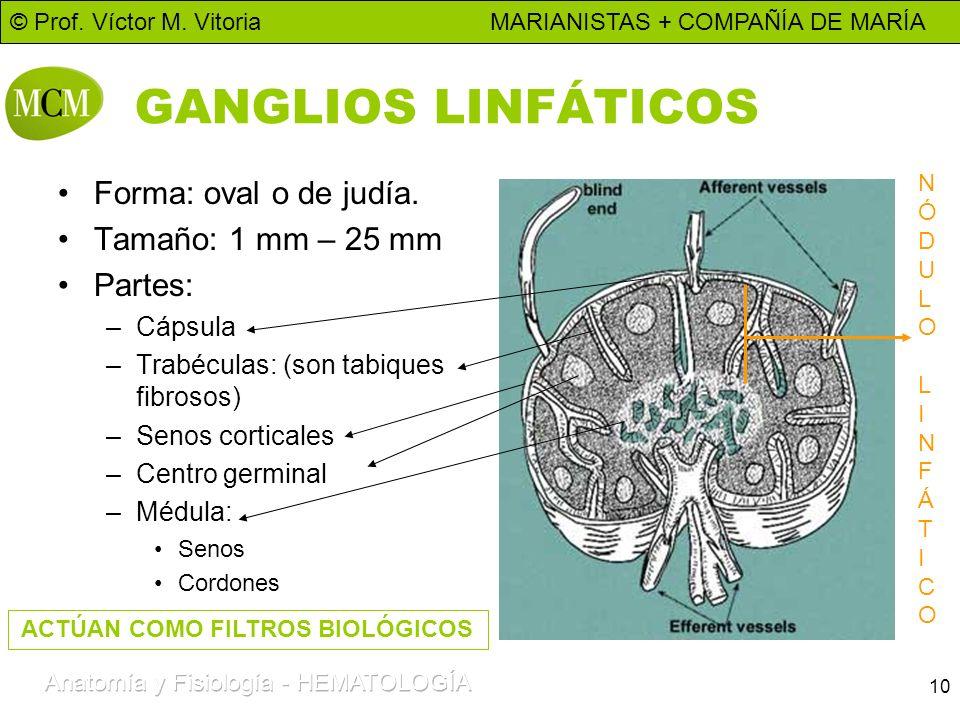 10 GANGLIOS LINFÁTICOS Forma: oval o de judía. Tamaño: 1 mm – 25 mm Partes: –Cápsula –Trabéculas: (son tabiques fibrosos) –Senos corticales –Centro ge
