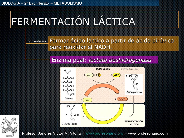 Profesor Jano es Víctor M. Vitoria – www.profesorjano.org – www.profesorjano.com www.profesorjano.org BIOLOGÍA – 2º bachillerato – METABOLISMO FERMENT