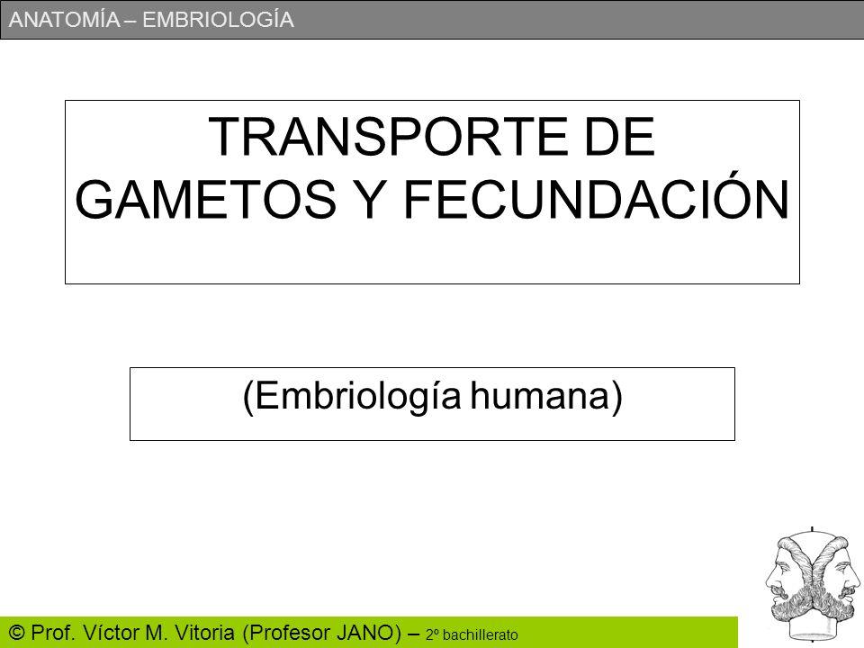 ANATOMÍA – EMBRIOLOGÍA © Prof. Víctor M. Vitoria (Profesor JANO) – 2º bachillerato TRANSPORTE DE GAMETOS Y FECUNDACIÓN (Embriología humana)