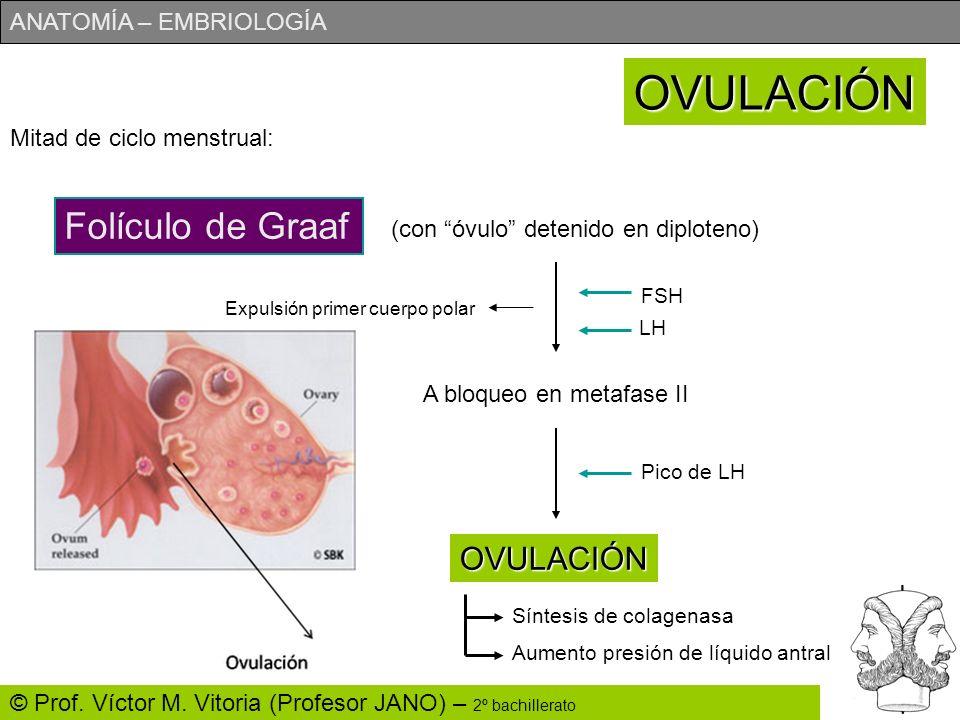 ANATOMÍA – EMBRIOLOGÍA © Prof. Víctor M. Vitoria (Profesor JANO) – 2º bachillerato Mitad de ciclo menstrual: OVULACIÓN Folículo de Graaf (con óvulo de
