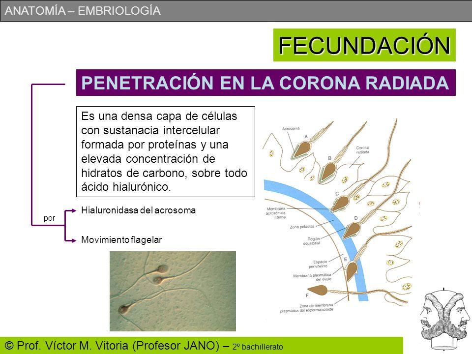 ANATOMÍA – EMBRIOLOGÍA © Prof. Víctor M. Vitoria (Profesor JANO) – 2º bachillerato FECUNDACIÓN PENETRACIÓN EN LA CORONA RADIADA Es una densa capa de c