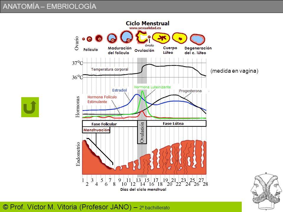 ANATOMÍA – EMBRIOLOGÍA © Prof. Víctor M. Vitoria (Profesor JANO) – 2º bachillerato (medida en vagina)