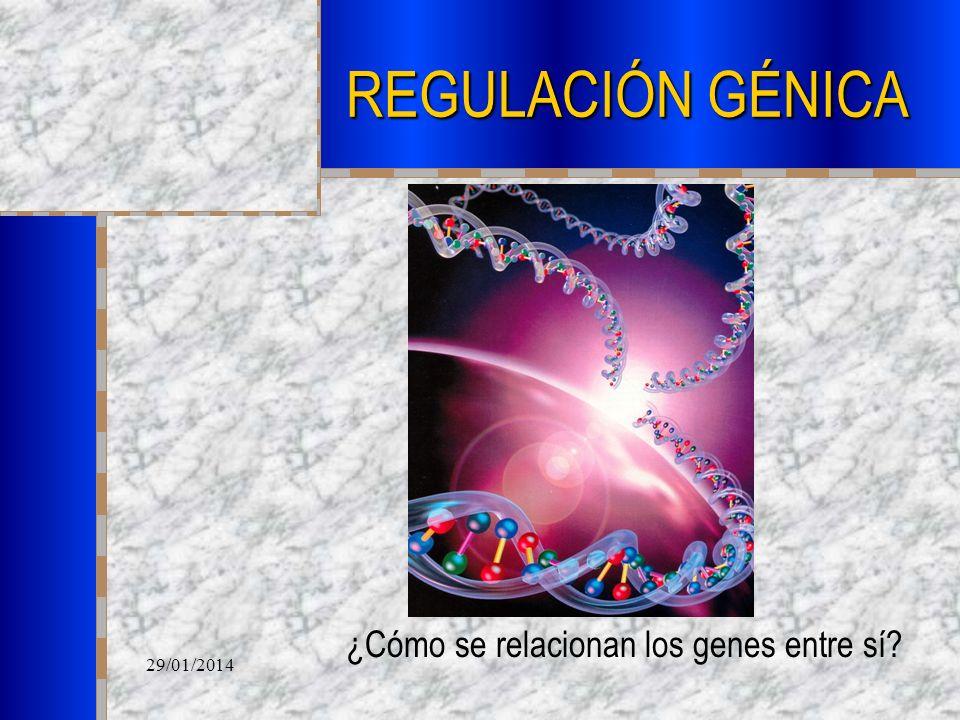 29/01/2014 REGULACIÓN GÉNICA ¿Cómo se relacionan los genes entre sí?