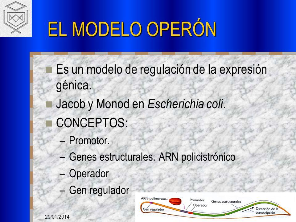 29/01/2014 EL MODELO OPERÓN Es un modelo de regulación de la expresión génica. Jacob y Monod en Escherichia coli. CONCEPTOS: –Promotor. –Genes estruct
