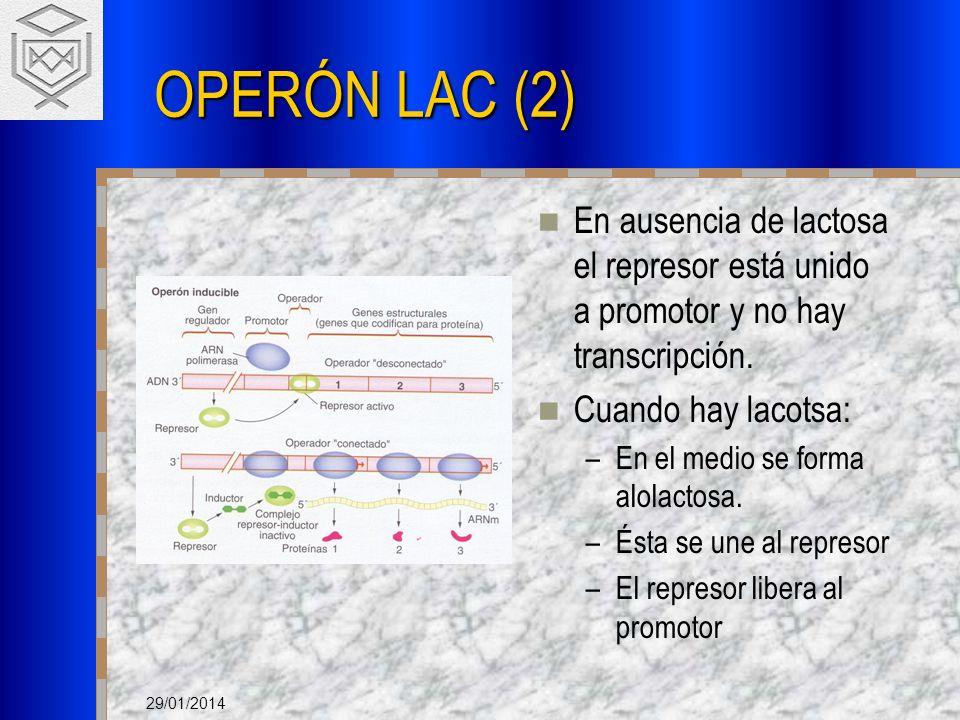 29/01/2014 OPERÓN LAC (2) En ausencia de lactosa el represor está unido a promotor y no hay transcripción. Cuando hay lacotsa: –En el medio se forma a