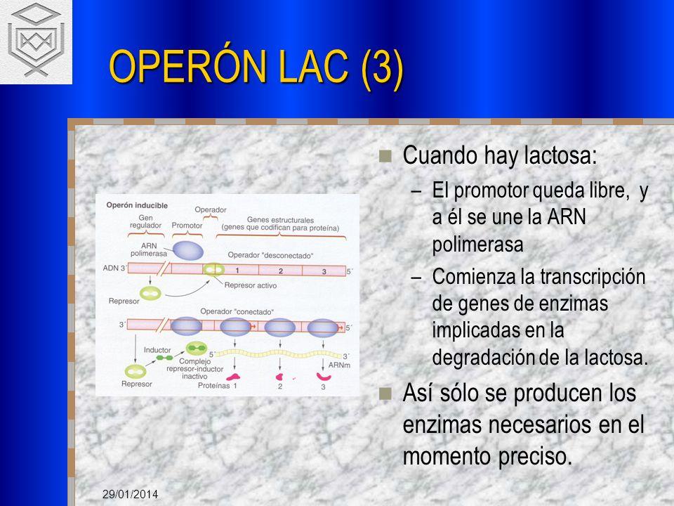 29/01/2014 OPERÓN LAC (3) Cuando hay lactosa: –El promotor queda libre, y a él se une la ARN polimerasa –Comienza la transcripción de genes de enzimas