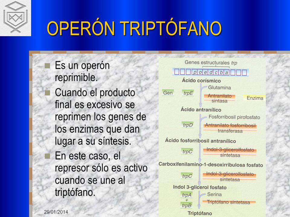 29/01/2014 OPERÓN TRIPTÓFANO Es un operón reprimible. Cuando el producto final es excesivo se reprimen los genes de los enzimas que dan lugar a su sín