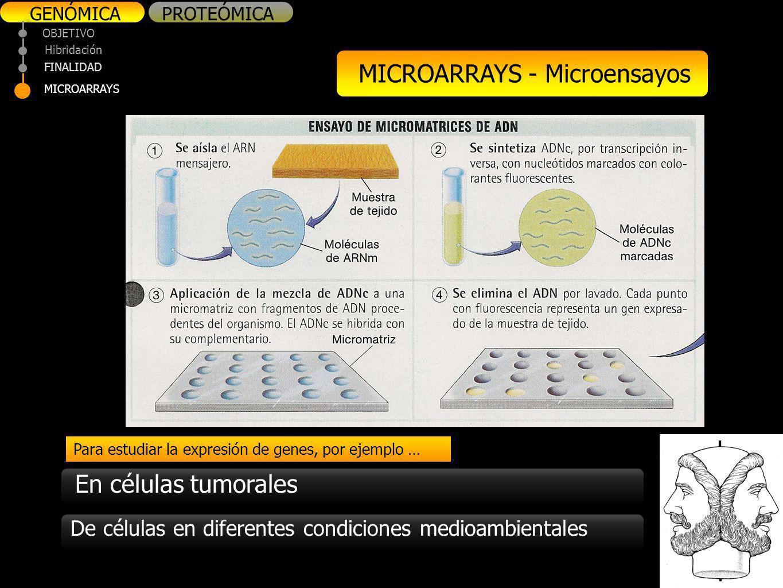 GENÓMICAPROTEÓMICA OBJETIVO FINALIDAD MICROARRAYS Hibridación MICROARRAYS - Microensayos Para estudiar la expresión de genes, por ejemplo … En células