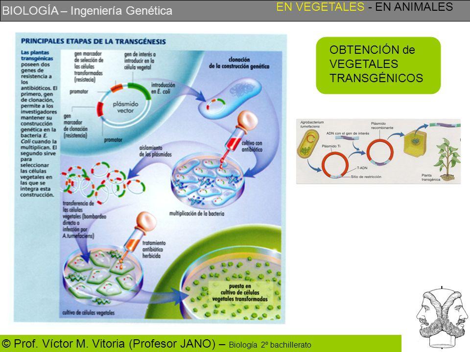 BIOLOGÍA – Ingeniería Genética © Prof. Víctor M. Vitoria (Profesor JANO) – Biología 2º bachillerato OBTENCIÓN de VEGETALES TRANSGÉNICOS EN VEGETALES -