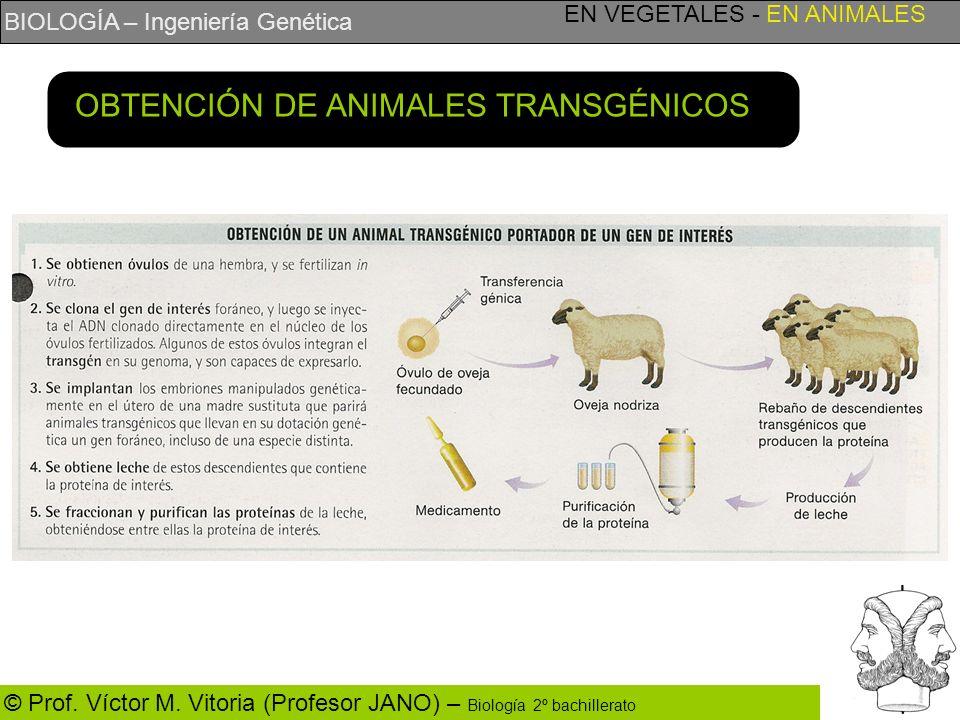 BIOLOGÍA – Ingeniería Genética © Prof. Víctor M. Vitoria (Profesor JANO) – Biología 2º bachillerato EN VEGETALES - EN ANIMALES OBTENCIÓN DE ANIMALES T