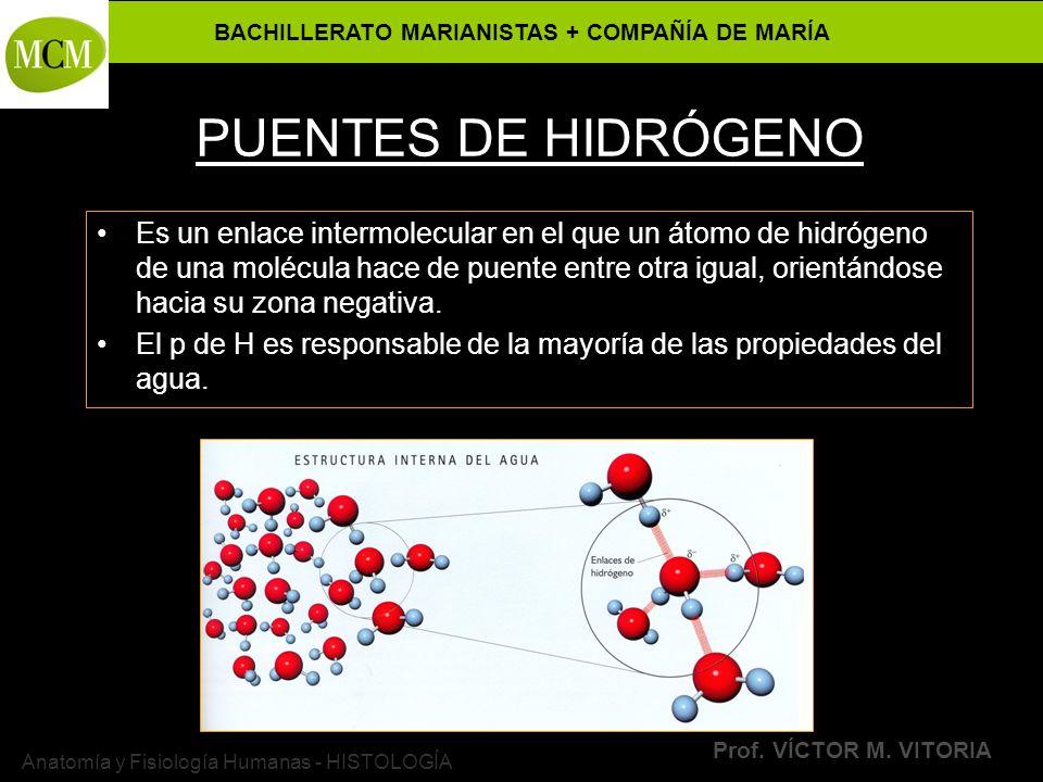 BACHILLERATO MARIANISTAS + COMPAÑÍA DE MARÍA Prof. VÍCTOR M. VITORIA Anatomía y Fisiología Humanas - HISTOLOGÍA PUENTES DE HIDRÓGENO Es un enlace inte
