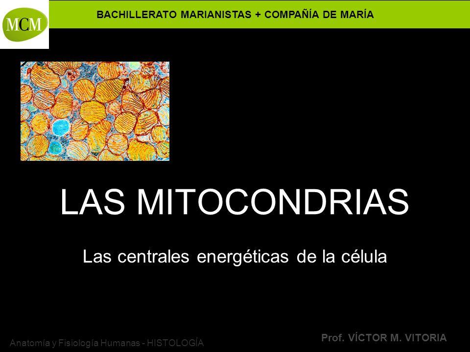 BACHILLERATO MARIANISTAS + COMPAÑÍA DE MARÍA Prof. VÍCTOR M. VITORIA Anatomía y Fisiología Humanas - HISTOLOGÍA LAS MITOCONDRIAS Las centrales energét