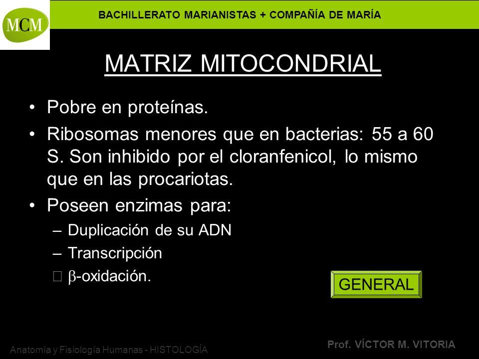 BACHILLERATO MARIANISTAS + COMPAÑÍA DE MARÍA Prof. VÍCTOR M. VITORIA Anatomía y Fisiología Humanas - HISTOLOGÍA MATRIZ MITOCONDRIAL Pobre en proteínas