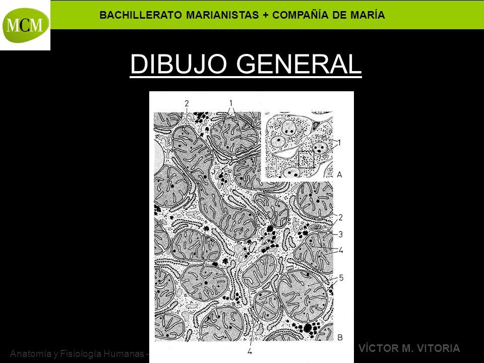 BACHILLERATO MARIANISTAS + COMPAÑÍA DE MARÍA Prof. VÍCTOR M. VITORIA Anatomía y Fisiología Humanas - HISTOLOGÍA DIBUJO GENERAL