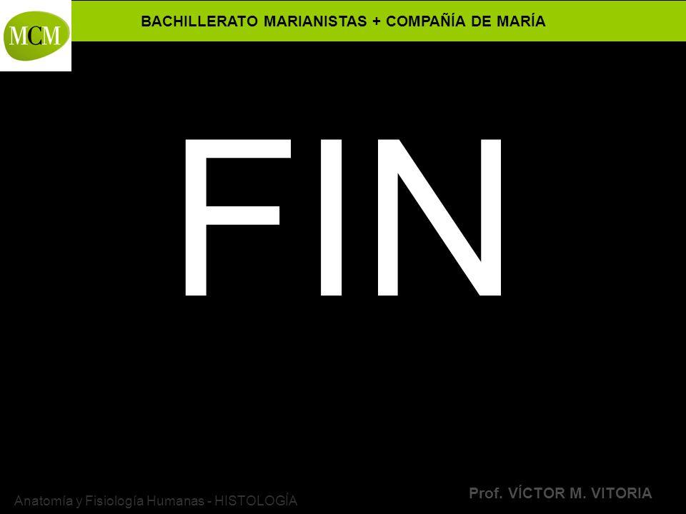 BACHILLERATO MARIANISTAS + COMPAÑÍA DE MARÍA Prof. VÍCTOR M. VITORIA Anatomía y Fisiología Humanas - HISTOLOGÍA FIN