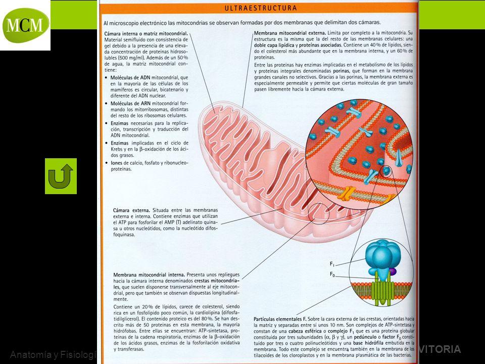 BACHILLERATO MARIANISTAS + COMPAÑÍA DE MARÍA Prof. VÍCTOR M. VITORIA Anatomía y Fisiología Humanas - HISTOLOGÍA