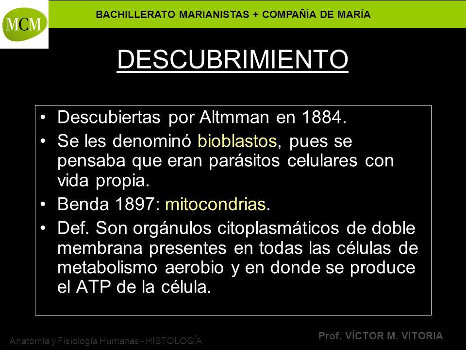 BACHILLERATO MARIANISTAS + COMPAÑÍA DE MARÍA Prof. VÍCTOR M. VITORIA Anatomía y Fisiología Humanas - HISTOLOGÍA DESCUBRIMIENTO Descubiertas por Altmma