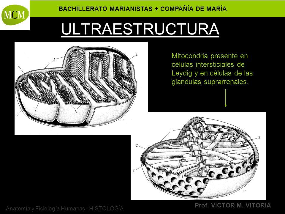 BACHILLERATO MARIANISTAS + COMPAÑÍA DE MARÍA Prof. VÍCTOR M. VITORIA Anatomía y Fisiología Humanas - HISTOLOGÍA ULTRAESTRUCTURA Mitocondria presente e