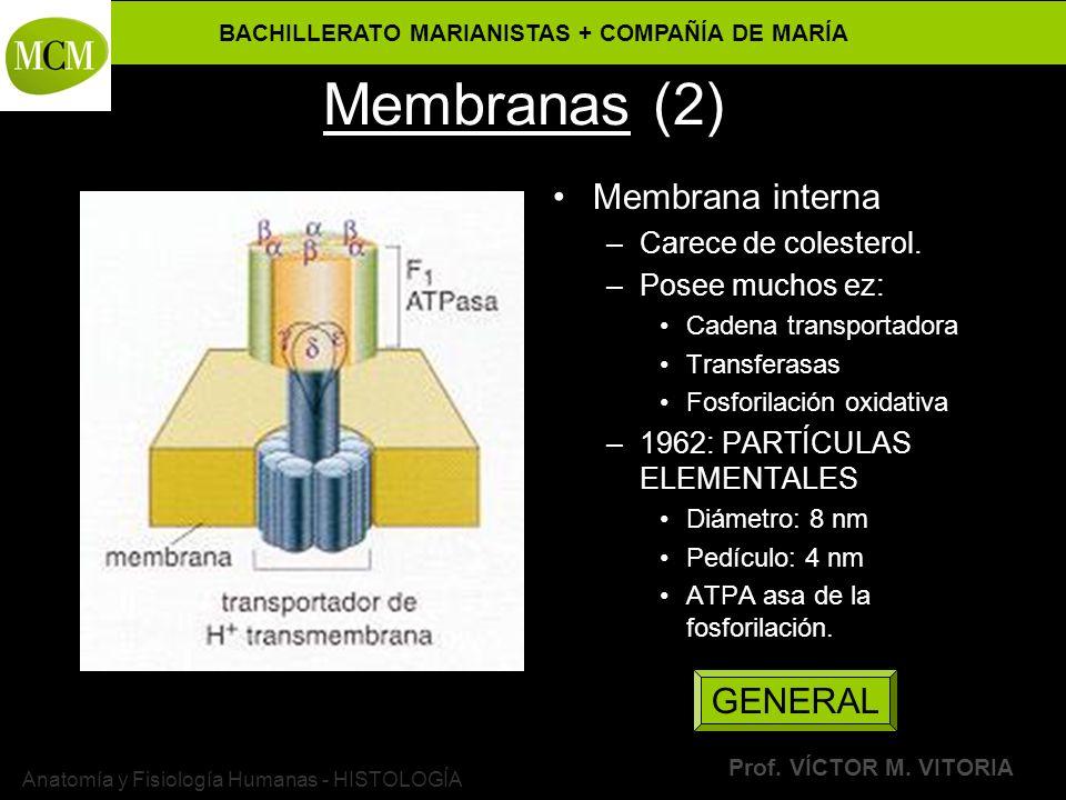 BACHILLERATO MARIANISTAS + COMPAÑÍA DE MARÍA Prof. VÍCTOR M. VITORIA Anatomía y Fisiología Humanas - HISTOLOGÍA Membranas (2) Membrana interna –Carece