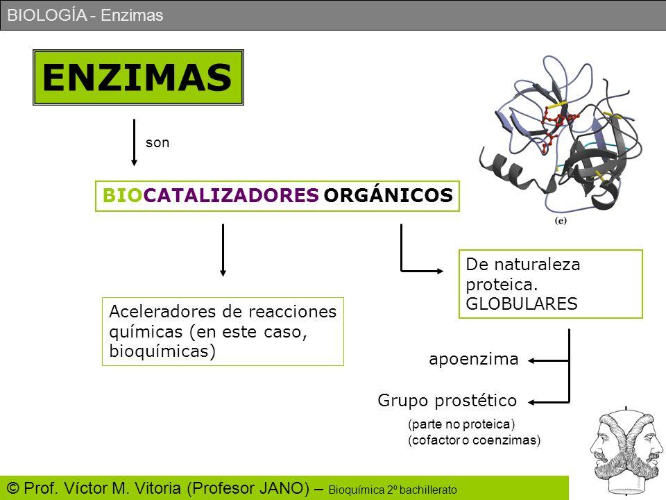 BIOLOGÍA - Enzimas © Prof. Víctor M. Vitoria (Profesor JANO) – Bioquímica 2º bachillerato ENZIMAS son BIOCATALIZADORES ORGÁNICOS Aceleradores de reacc