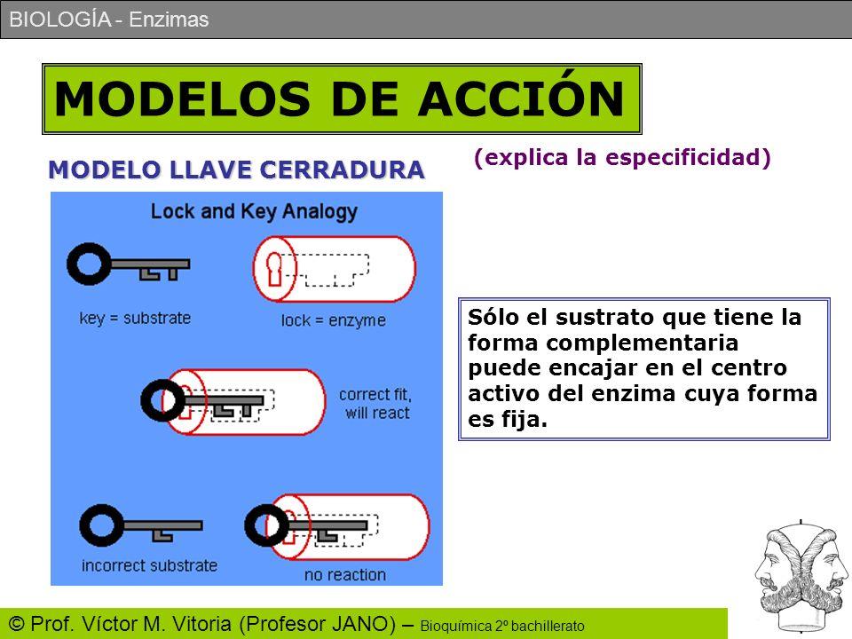 BIOLOGÍA - Enzimas © Prof. Víctor M. Vitoria (Profesor JANO) – Bioquímica 2º bachillerato MODELOS DE ACCIÓN MODELO LLAVE CERRADURA Sólo el sustrato qu