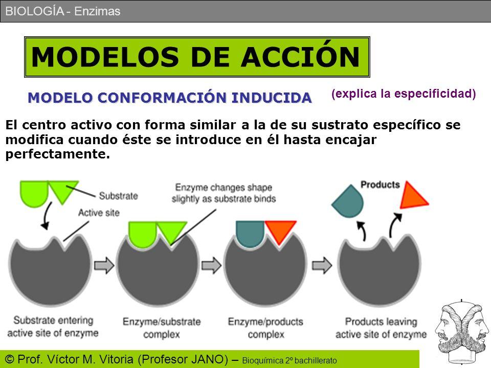 BIOLOGÍA - Enzimas © Prof. Víctor M. Vitoria (Profesor JANO) – Bioquímica 2º bachillerato MODELOS DE ACCIÓN MODELO CONFORMACIÓN INDUCIDA El centro act