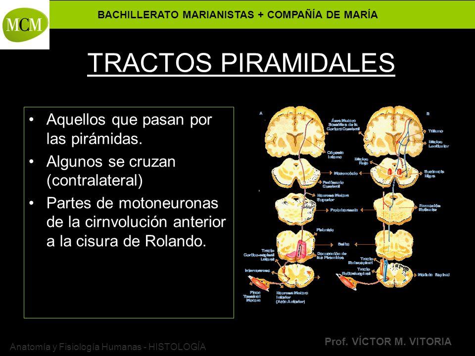 BACHILLERATO MARIANISTAS + COMPAÑÍA DE MARÍA Prof. VÍCTOR M. VITORIA Anatomía y Fisiología Humanas - HISTOLOGÍA TRACTOS PIRAMIDALES Aquellos que pasan