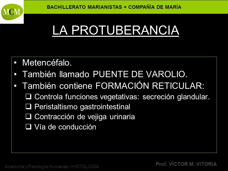 BACHILLERATO MARIANISTAS + COMPAÑÍA DE MARÍA Prof. VÍCTOR M. VITORIA Anatomía y Fisiología Humanas - HISTOLOGÍA LA PROTUBERANCIA Metencéfalo. También