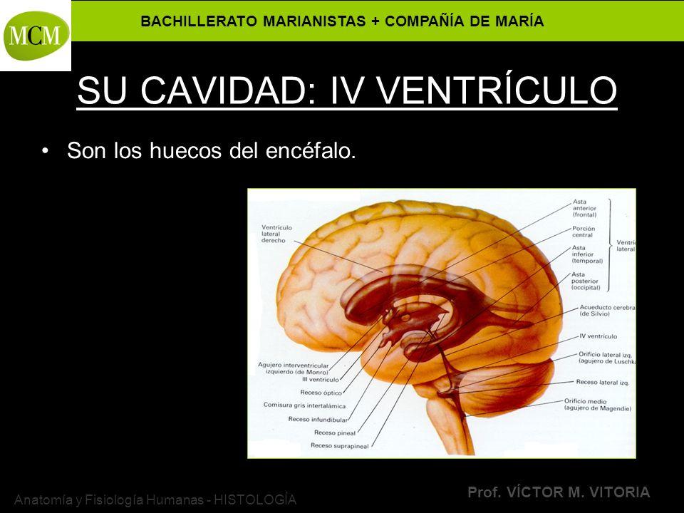 BACHILLERATO MARIANISTAS + COMPAÑÍA DE MARÍA Prof. VÍCTOR M. VITORIA Anatomía y Fisiología Humanas - HISTOLOGÍA SU CAVIDAD: IV VENTRÍCULO Son los huec