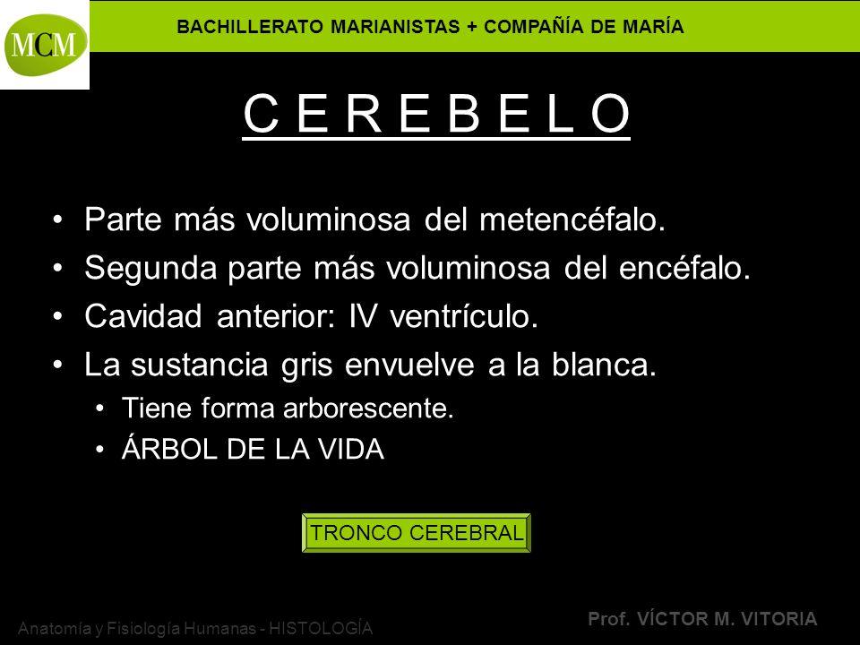 BACHILLERATO MARIANISTAS + COMPAÑÍA DE MARÍA Prof. VÍCTOR M. VITORIA Anatomía y Fisiología Humanas - HISTOLOGÍA C E R E B E L O Parte más voluminosa d