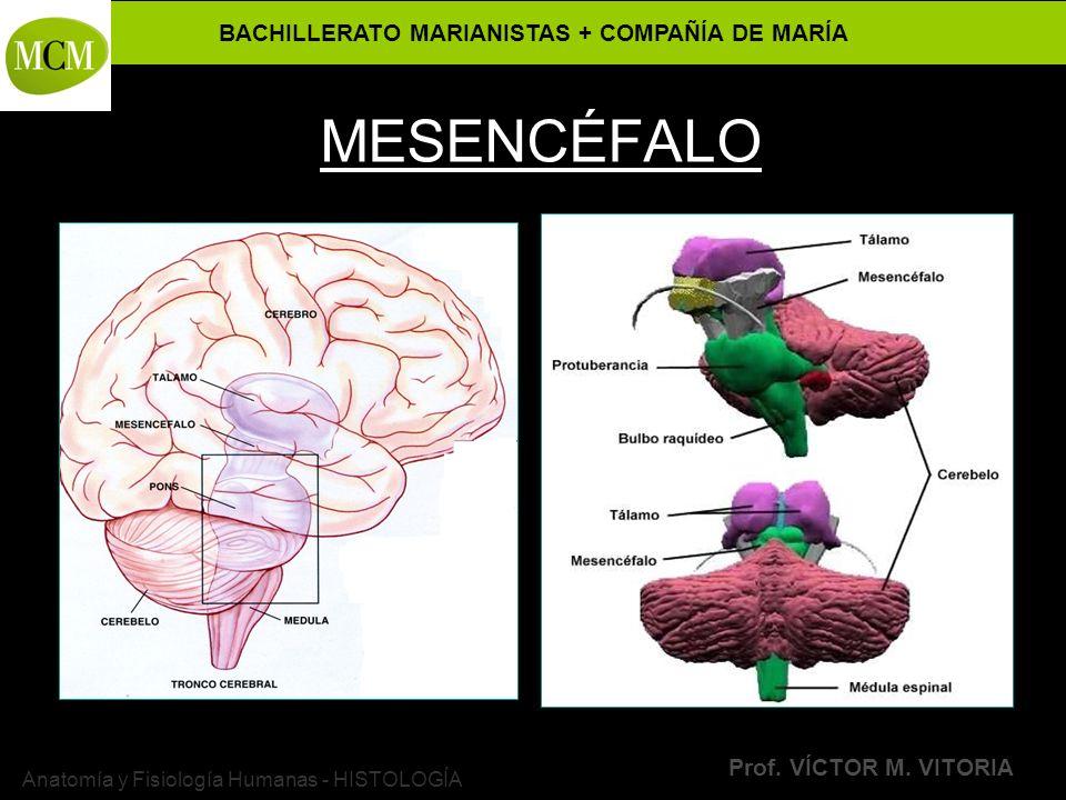 BACHILLERATO MARIANISTAS + COMPAÑÍA DE MARÍA Prof. VÍCTOR M. VITORIA Anatomía y Fisiología Humanas - HISTOLOGÍA MESENCÉFALO