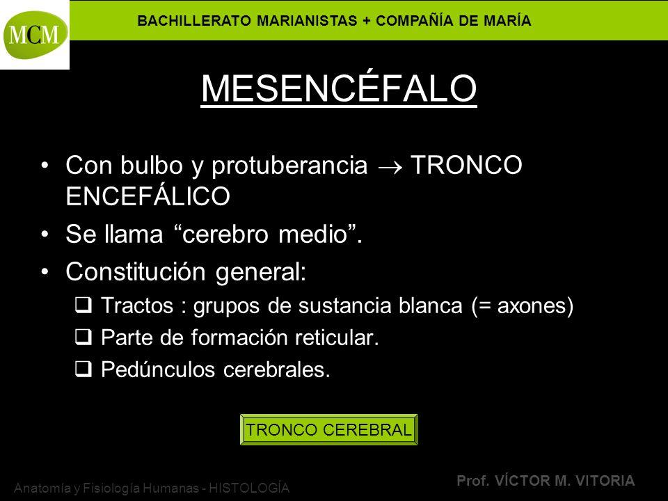 BACHILLERATO MARIANISTAS + COMPAÑÍA DE MARÍA Prof. VÍCTOR M. VITORIA Anatomía y Fisiología Humanas - HISTOLOGÍA MESENCÉFALO Con bulbo y protuberancia