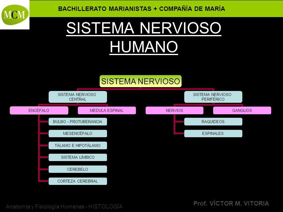 BACHILLERATO MARIANISTAS + COMPAÑÍA DE MARÍA Prof. VÍCTOR M. VITORIA Anatomía y Fisiología Humanas - HISTOLOGÍA SISTEMA NERVIOSO HUMANO SISTEMA NERVIO