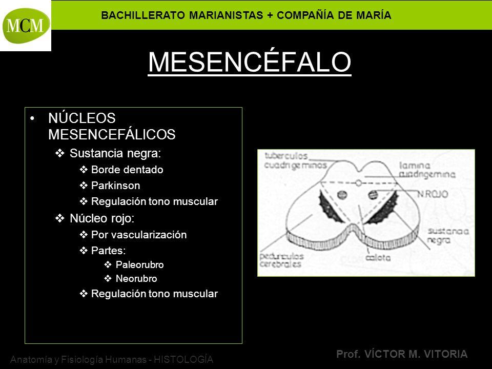 BACHILLERATO MARIANISTAS + COMPAÑÍA DE MARÍA Prof. VÍCTOR M. VITORIA Anatomía y Fisiología Humanas - HISTOLOGÍA MESENCÉFALO NÚCLEOS MESENCEFÁLICOS Sus