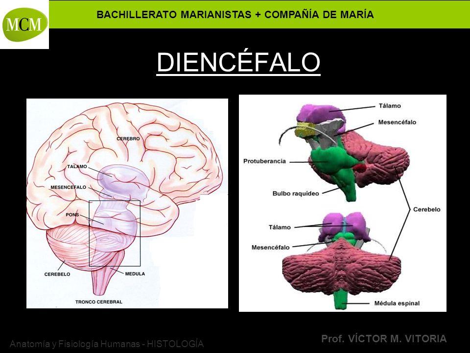 BACHILLERATO MARIANISTAS + COMPAÑÍA DE MARÍA Prof. VÍCTOR M. VITORIA Anatomía y Fisiología Humanas - HISTOLOGÍA DIENCÉFALO
